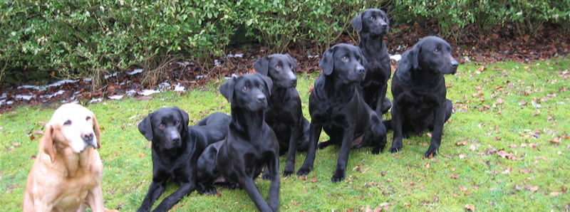 Leadburn Gundogs. Breeders of Labrador Retrievers